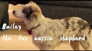 australian shepherd iq toy australian shepherd youtube