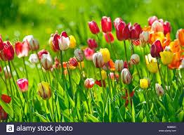 tulip field flower garden flowers springtime spring plant plants