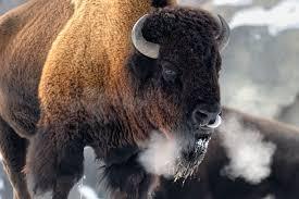 Massachusetts wildlife tours images Yellowstone winter adventure grand teton winter tour jpg