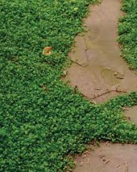 Backyard Ground Cover Options Low Maintenance Alternatives To Lawns Fine Gardening