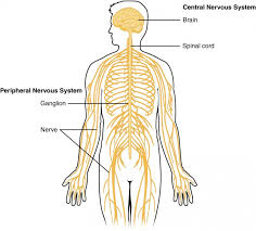 Simple Anatomy And Physiology Basic Structure And Function Of The Nervous System Anatomy And