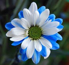 white and blue flowers blue n white chrysanthemum gerbera flowers and chrysanthemums