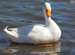 5 duck breeds that are great to keep in the garden pets4homes