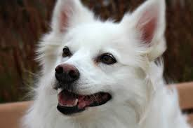 american eskimo dog chicago skooter pets available paws chicago