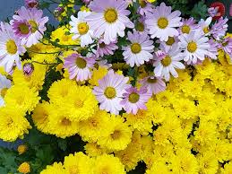 Fall Flowers Free Images Nature Field Petal Herb Flora Beauty
