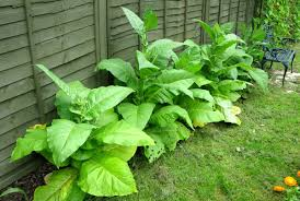 how to grow your own tobacco the garden