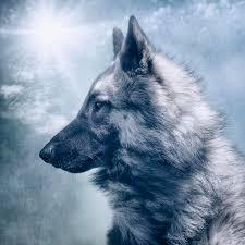belgian sheepdog wolf mix portrait of a belgian tervuren photograph by wolf shadow photography