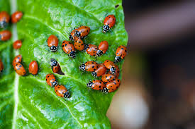 where have the nine spotted ladybugs gone scientists ask for your