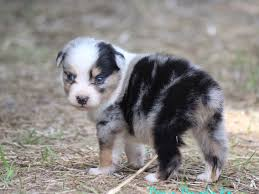 australian shepherd gray ashley sanchez australian shepherd puppies for sale