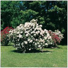 Achat Rosier Grimpant by Rosiers Achat De Rosiers En Ligne Roses Guillot