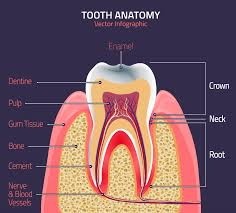 Parts Of A Tissue Dallas Dentist Parts Of The Tooth Lynn Dental Care
