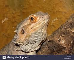 australia terrarium reptiles agamen bartagame amphibolurus