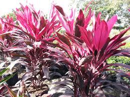 ti plant no worries property maintenance ti plant