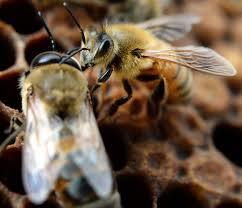 eagan approves back yard beekeeping startribune com