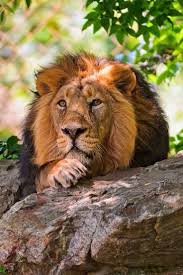 best 25 lion pictures ideas on pinterest lion tattoos of lions