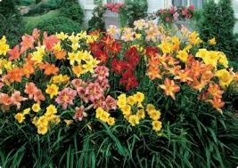 Day Lillies Day Lilies Come In Various Colors Styles Google Search
