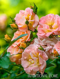137 best the language of roses images on pinterest english roses