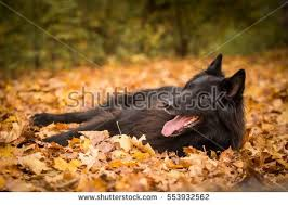 belgian sheepdog art belgian sheepdog stock images royalty free images u0026 vectors