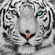 white tiger with green tigers
