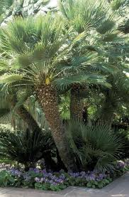mediterranean fan palm tree 11 fascinating facts about palm trees