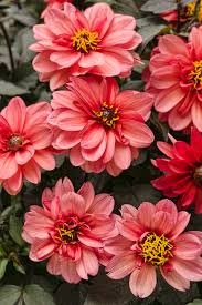 dahlightful sultry dahlia variabilis proven winners