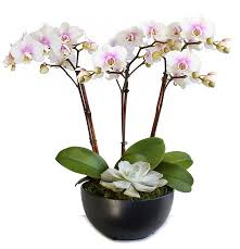 buy an orchid phalaenopsis orchids indoor flowers plant care rocket farms
