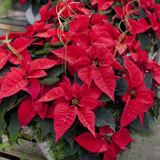 wholesale poinsettias salisbury greenhouse
