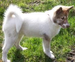 american eskimo dog odor eskimo dog canadian canadian eskimo dogs pinterest dog and