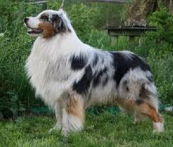 cut n loose australian shepherds australian shepherd silver dream aussie u0027s july knight id 1294