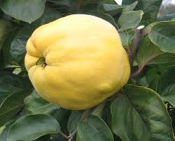 Online Fruit Trees For Sale - quince and medlar trees for sale buy fruit trees online