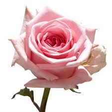 fresh flower delivery globalrose 50 pink roses fresh flower delivery 50 birthday pink