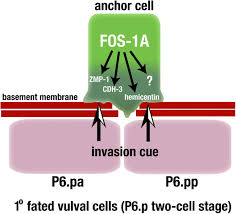 fos 1 promotes basement membrane removal during anchor cell