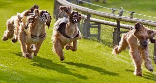 afghan hound racing uk 日記 343 mellos
