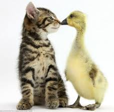 tiny kittens cuddly puppies and fluffy ducks pair up for cute