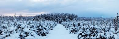 scampston hall christmas trees malton north yorkshire
