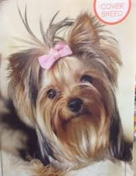 tea cup yorkie hair cuts yorkshire terriers yorkshire terriers pinterest yorkshire