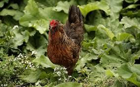 Backyard Animals Lyrics Salmonella Increase Due To Chicken Being Kept In Backyards Daily