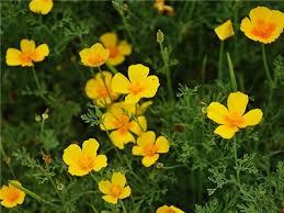 California Poppy California Poppy Golden West Baker Creek Heirloom Seeds