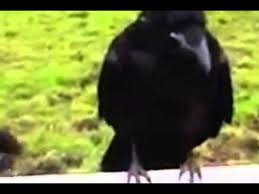quills movie video raven stuck with porcupine quills seeks help from humans video
