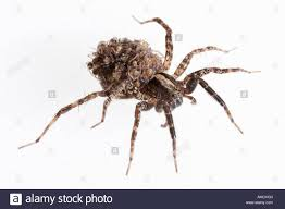 wolf spider carrying babies on her back hogna frondicola stock