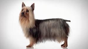 affenpinscher animal planet silky terrier dog breed selector animal planet