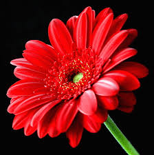 fresh free gerbera flowers care 18751