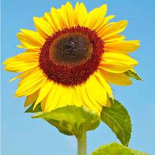sunflower seeds titan all flower seeds flower seeds gardening