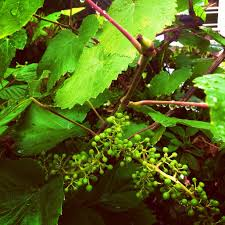 how to grow and prune grape vines togetherfarm com