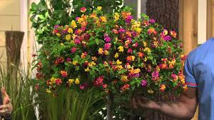 Patio Tree Roses by Cottage Farms Confetti Lantana Patio Tree With Kerstin Lindquist