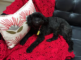 affenpinscher for sale near me kate peterson author at the ripenists resources for smart self