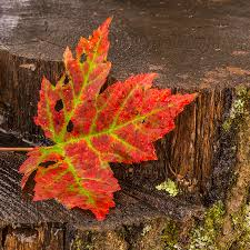 maple leaf on oak stump photograph by paul freidlund