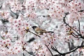 fight for which is the country of origin for the cherry