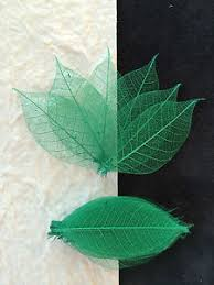 25 skeleton leaves green small rubber tree leaf crafts st