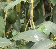 fruit trees hiding at the san diego zoo greg alder u0027s yard posts